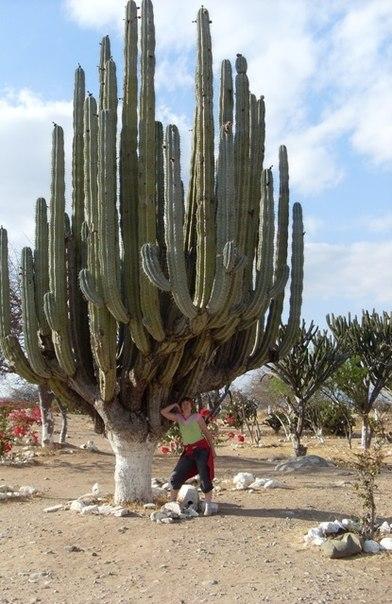 kaktus-big